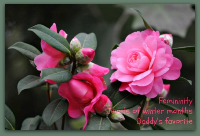 Daddy's Camellias (2)