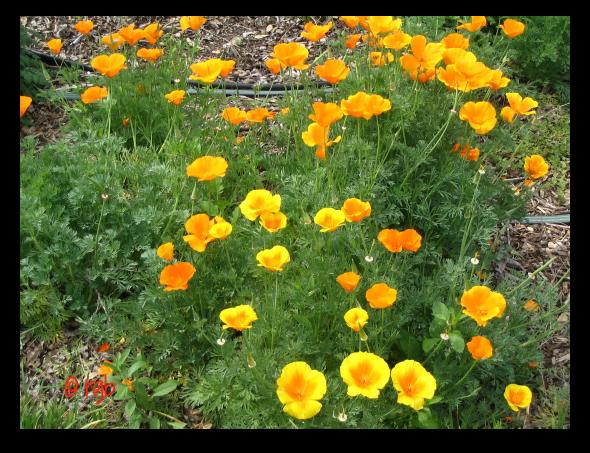 Monday Mellow Yellow - 54 - California Poppies