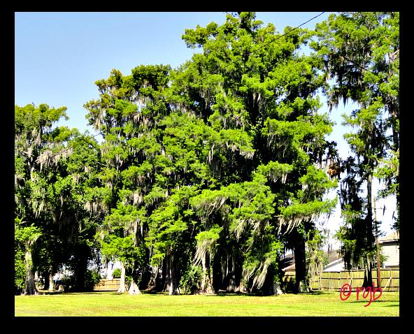 Sunday Trees - 83