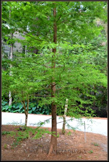 Sunday Trees - 142a