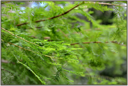 Sunday Trees - 142b