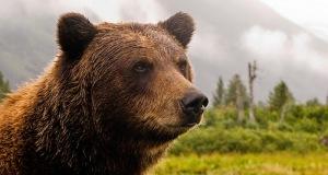 grizzy bear
