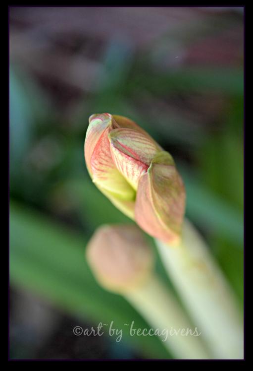 4 -Peppermint Amaryllis