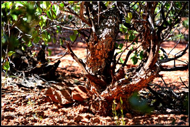 Sunday Trees - 245 - Sedona
